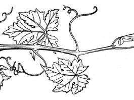 พืชจำพวกเถา-เครือ