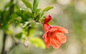 ดอกทับทิม