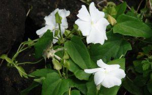 รางจืดดอกขาว